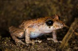 One of 400 species of Pristimantis known to exist!