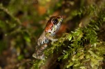 A tiny froglet, Pristimantis Mindo. This is a new species only recently described.