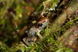 A tiny froglet, Pristimantis Mindo. This is a new species only recently described.  Only about the size of my pinky nail!