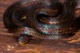 A clubrid groundsnake, Atractus dunni, coiled up