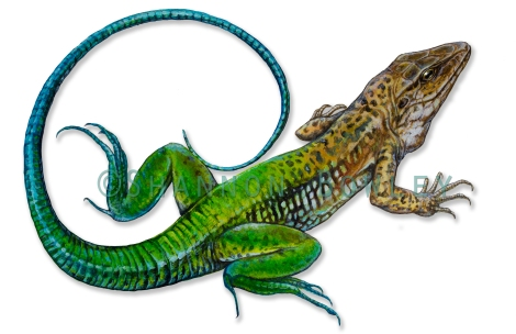 Ameiva ameiva My latest painting, a species of reptile I'd seen recently in Panama. I'd tried to capture the highly aware adult males on a few occasions, but they always bolted off just as I hinted interest in them.