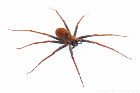 Adult Female 'Stream Spider'.