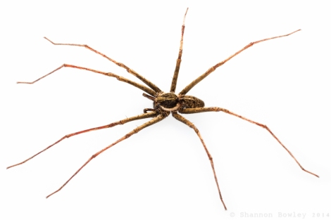 Adult male 'Stream Spider'