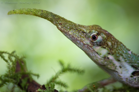 Adult Male Anolis proboscis