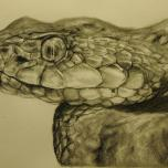 Bothrops osbornei - Osborne's Lancehead Pencil