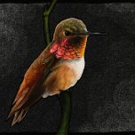 Selasphorus rufus (Rufous Hummingbird) Digital
