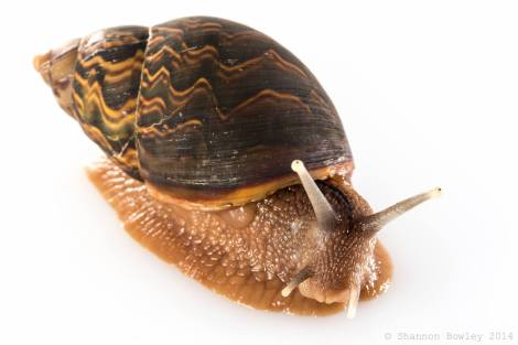 The typical snail one sees, also a Mindoan animal. These snails are quite large and active.