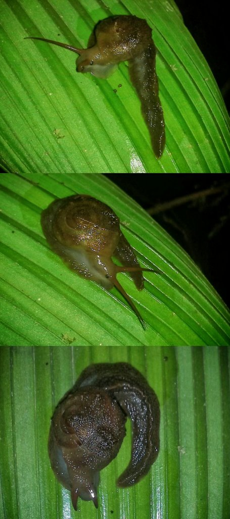 The Mindo Proserpinid Snail, the only one I'd ever seen.
