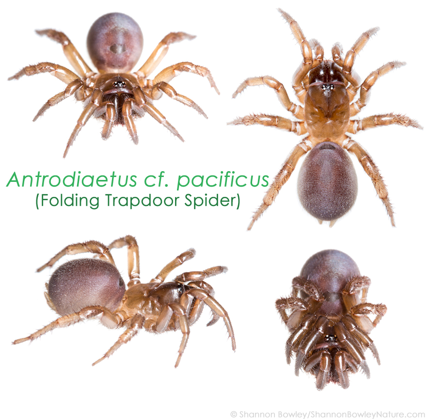 Antrodiaetus pacificus – The Lurkers of the Pacific Northwest | What ...