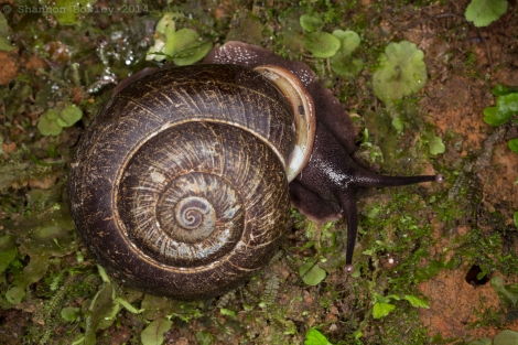Another large snail, a pulmonate variety.
