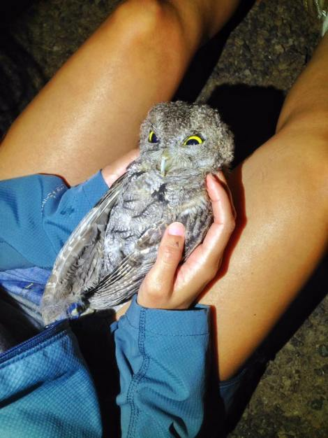 James took this photo of the deceased, beautiful little Western Screech-Owl.