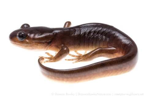 A young Ambystoma gracile.